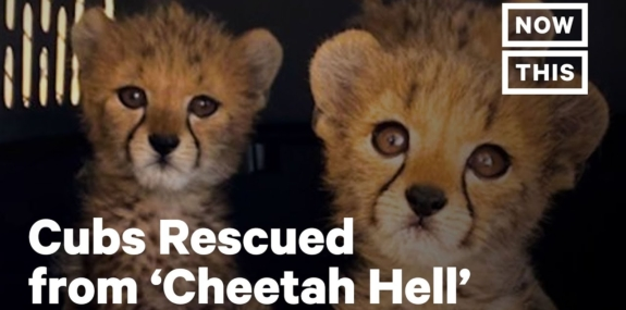 These Cubs Were Rescued From 'Cheetah Hell'
