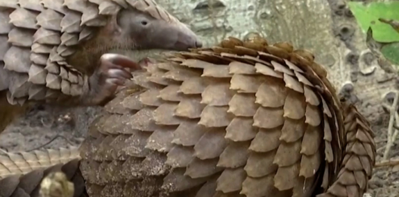 The Pangolin is The Most Trafficked Mammal in the World